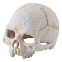 primate-skull_high-resolution_pt2926
